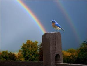 Bluebird-double rainbow (Large)