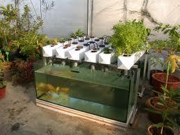 Aquaponics Hydroculture Growing Fish And Veggies In