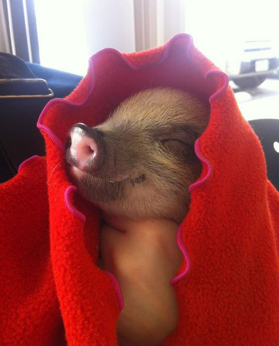 Image result for Pigs In A Blanket Day gof