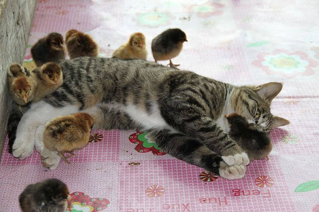kitty mothers chicks
