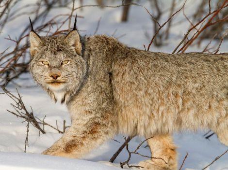 lynx-snow-canada