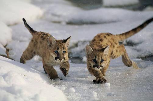 Baby Lynx on Ice