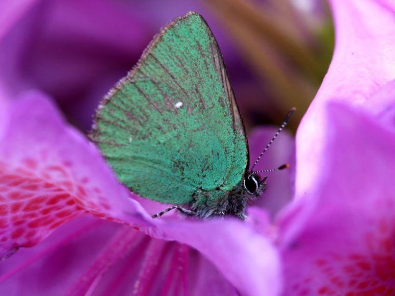 butterfly-rhododendron_julia baverstock