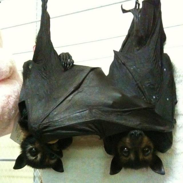 two bats wrapped up