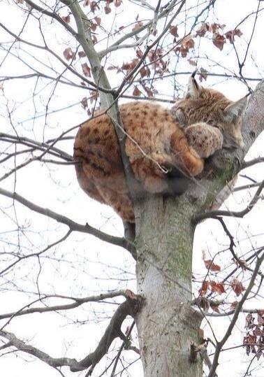 bobcat sleeping in tree
