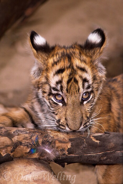 tiger cub-dave welling