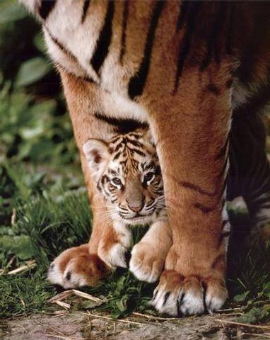 tiger momma and cub