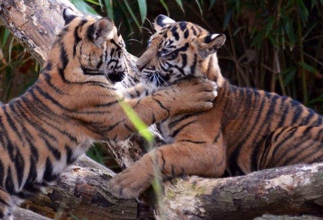 sumatran tiger cubs-national zoo-john sonderman