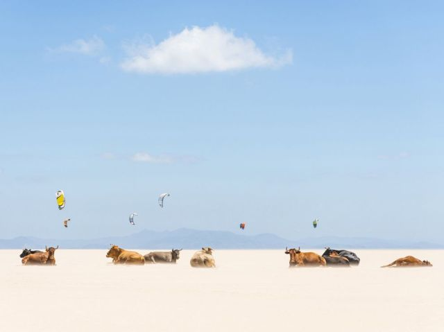 sunbathing cows-tarifa beach_andalusia-andrew lever
