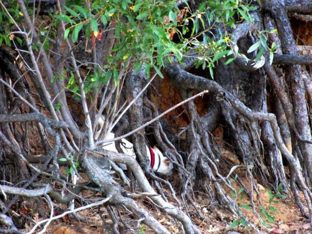 Gotta check out under this tangle of roots, make sure there's no squirrels here.