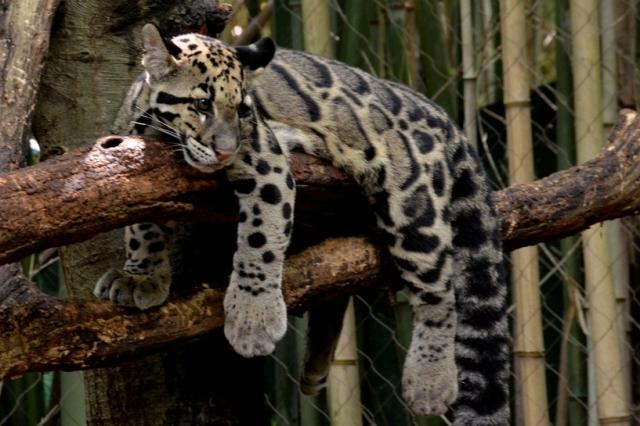 clouded leopard1