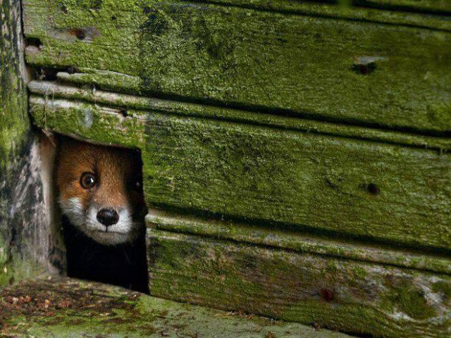 fox in mossy shelter
