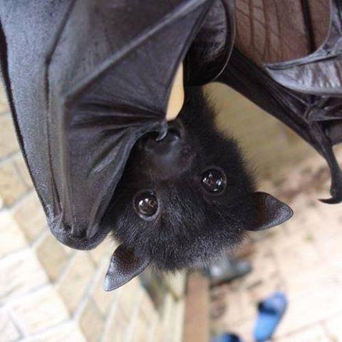 fruit bat dr evil