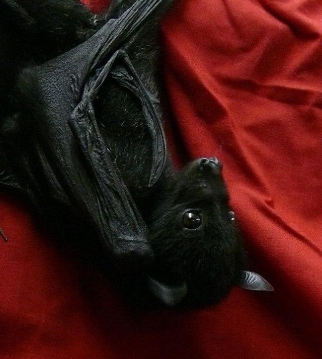fruit bat red background
