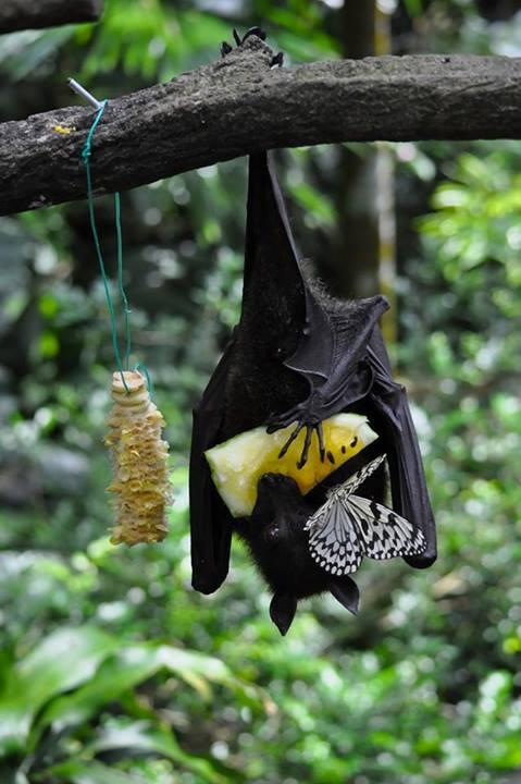 fruit bat w-butterfly