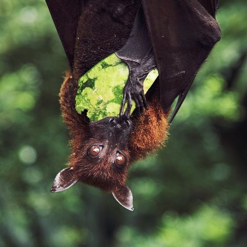 fruit bat w-watermelon