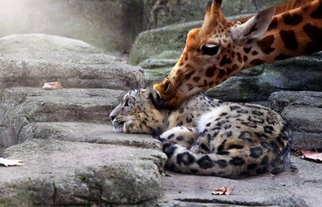 giraffe snorgling leopard