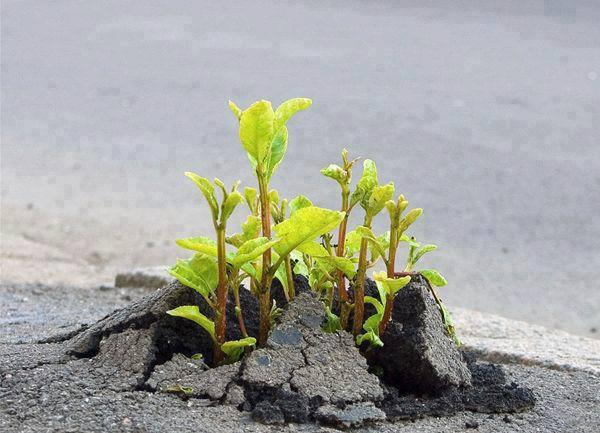 plant through asphalt