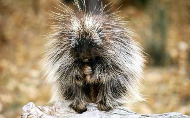 plotting porcupine