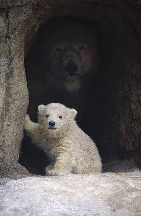 polar bear cub w-mom in den