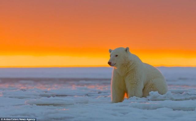 Polar-Bear-Mama-Sunset-anwr-kaktovik-alaska-sylvain cordier