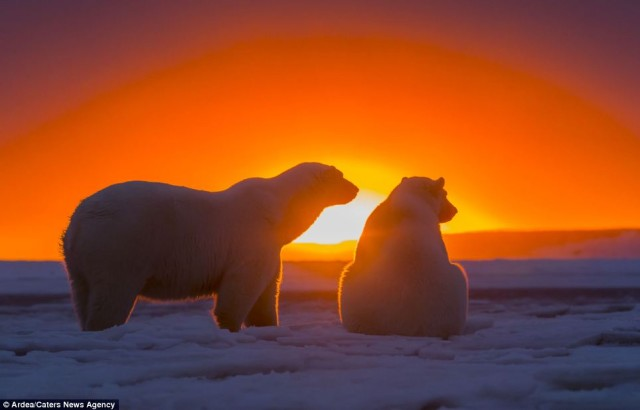 Polar-Bears-Admiring-Sunset-1-anwr-kaktovik-alaska-sylvain cordier
