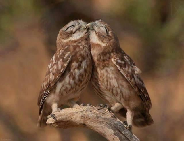 owl cuddlinks