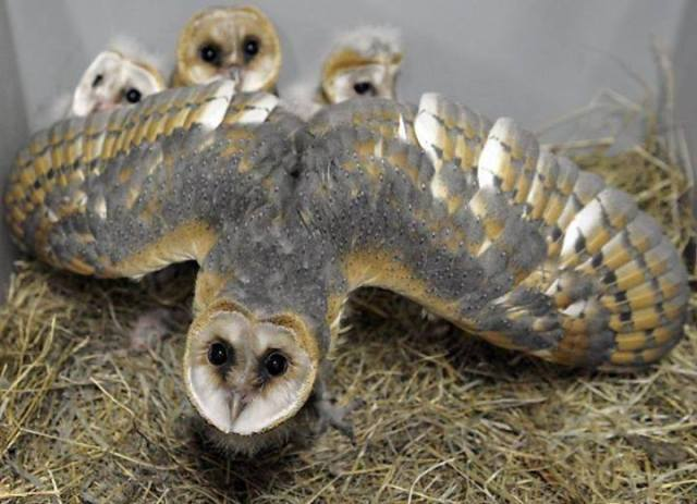 owl protecting her brood