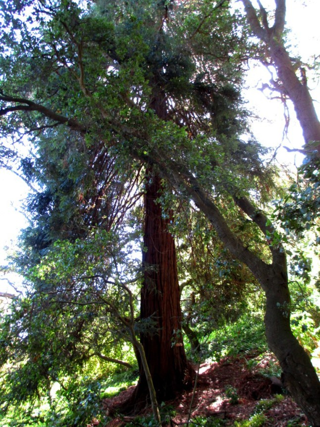 buena vista park redwood