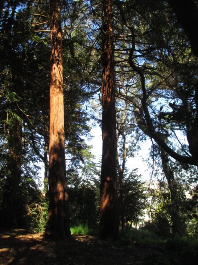 Huge redwood trees.