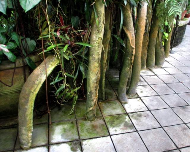These strangler fig vines were growing straight out of the tiles.