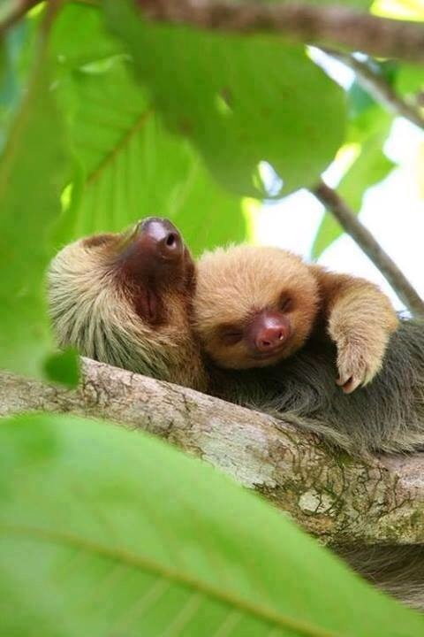 momma and baby sloths