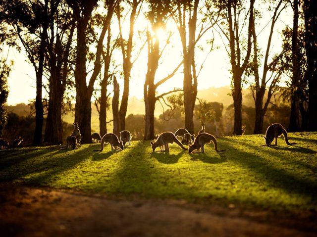 kangaroos-sunset-australia_adhi anggadjaja