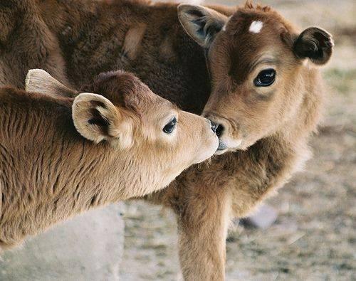 kissing calfs