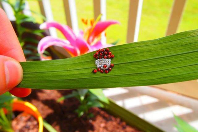 ladybugs hatching