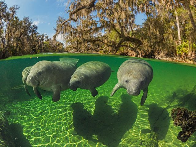 manatee-florida-paul nicklen