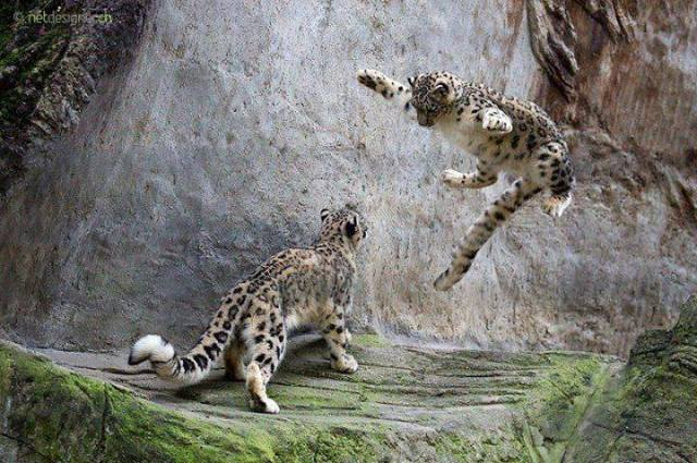 leaping leopards