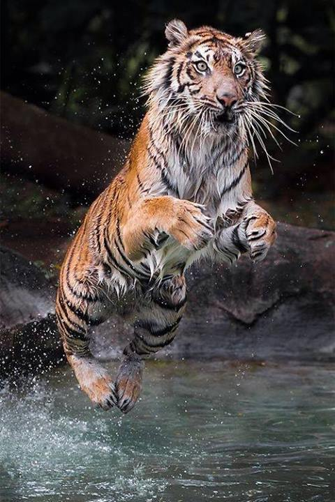 leaping wet tiger