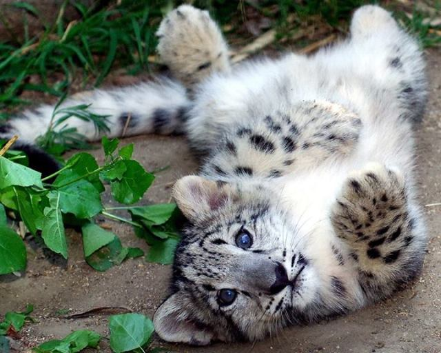 leopard cub belly