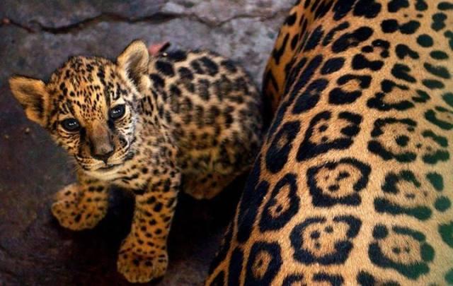 leopard cub w-mom
