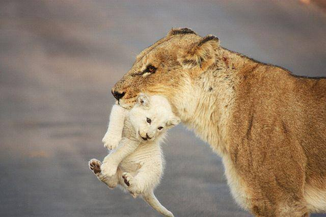 lioness w-cub