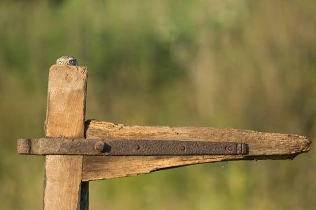 little owl on fencepost