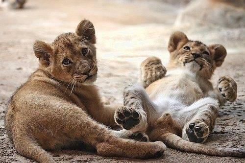 2 lion cubs