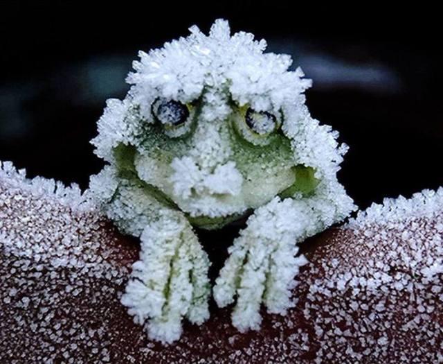 Alaskan Wood Frog