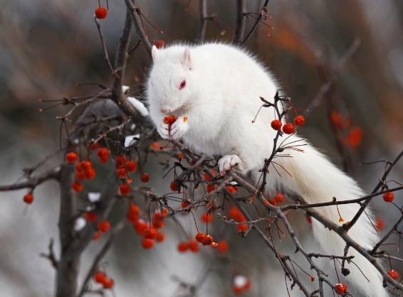 albino sqirrel eating berries
