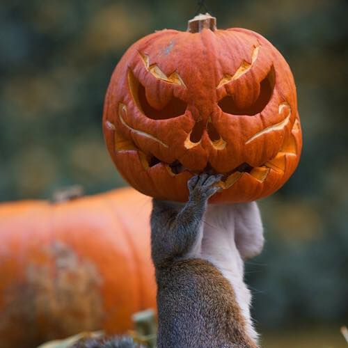 save for halloween-squirrel w-pumpkin