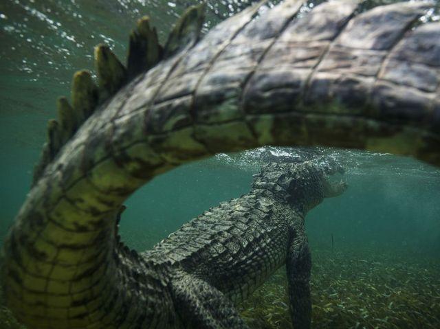 american crocodile-caribbean sea_mike korostelev