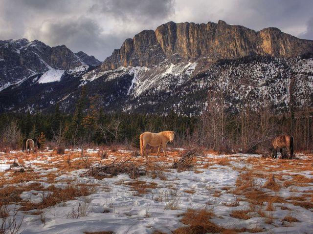 wild horses-mt yamnuska-alberta-canada_o. mehes