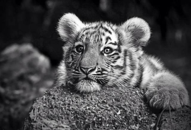 b&w baby tiger