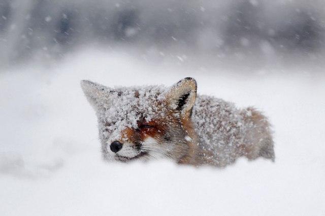 wild foxes10-roeselien raimond